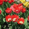 Tulipa 'Big Chief', Janos Agoston