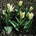 Tulipa Concerto, Janos Agoston