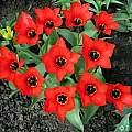 Tulipa 'Madam LeFeber' or 'Red Emperor', Janos Agoston