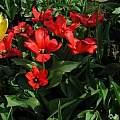 Tulipa 'Princeps', Janos Agoston