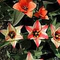 Tulipa 'Czar Peter', Janos Agoston