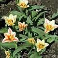 Tulipa 'Quebec', Janos Agoston