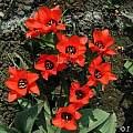 Tulipa 'Red Riding Hood', Janos Agoston