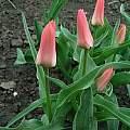Tulipa 'Toronto', Janos Agoston