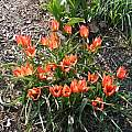 Tulipa 'Little Princess', Mark McDonough
