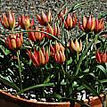 Tulipa 'Little Princess' back, Mary Sue Ittner