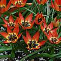 Tulipa 'Little Princess', Mary Sue Ittner