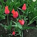 Tulipa 'Temple of Beauty', Janos Agoston