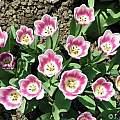Tulipa 'Arabian Mystery, Janos Agoston