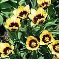 Tulipa 'Gavota', Janos Agoston