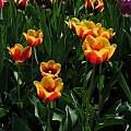 Tulipa 'Kees Nelis, Janos Agoston