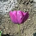 Tulipa 'Negrita, Janos Agoston