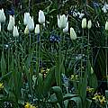 Tulipa 'White Triumphator', David Pilling