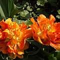 Tulipa 'Willem van Oranje', Jim McKenney