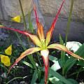 Tulipa acuminata, Martin Bohnet