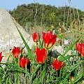Tulipa agenensis, Oron Peri