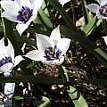 Tulipa humilis 'Alba Coerulea Oculata', Arnold Trachtenberg