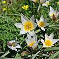 Tulipa biflora, Astrakhan Reserve, Russia, courtesy CC BY-SA 4.0