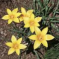 Tulipa clusiana var. chrysantha, Mark McDonough