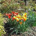 Tulipa clusiana var. chrysantha and Tulipa linifolia, Mark McDonough