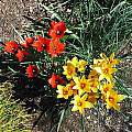 Tulipa clusiana var. chrysantha and Tulipa linifolia, Mark McDonough
