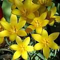 Tulipa clusiana var. chrysantha, Mary Sue Ittner