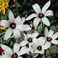 Tulipa clusiana, Mary Sue Ittner