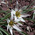 Amana edulis, syn. Tulipa edulis, John Lonsdale [Shift+click to enlarge, Click to go to wiki entry]