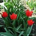 Tulipa eichleri, Janos Agoston