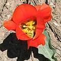 Tulipa greigii, David Victor