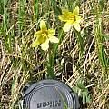 Tulipa heterophylla, David Victor