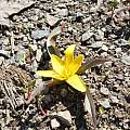 Tulipa hissarica, Oron Peri