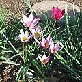 Tulipa humilis, Mark McDonough