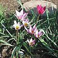 Tulipa humilis, Mark McDonough