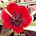 Tulipa humilis 'Lilliput', John Lonsdale