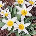 Tulipa kaufmanniana, John Lonsdale