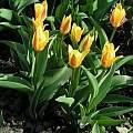 Tulipa kaufmanniana 'Giuseppe Verdi', Janos Agoston