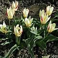 Tulipa kaufmanniana 'Johann Strauss', Janos Agoston