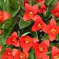 Tulipa kaufmanniana 'Showwinner', Janos Agoston