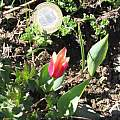Tulipa kaufmanniana, David Victor