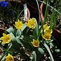 Tulipa lemmersii, Jane McGary