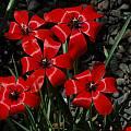 Tulipa linifolia, Mary Sue Ittner