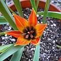 Tulipa orphanidea, Mary Sue Ittner