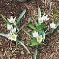 Tulipa biflora, syn. Tulipa polychroma, Mark McDonough