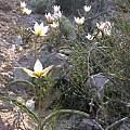Tulipa polychroma, Gideon Pisanty
