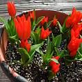 Tulipa praestans 'Fusilier', Mary Sue Ittner