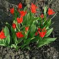 Tulipa praestans 'Van Tubergen's Variety', Janos Agoston