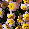 Tulip saxatilis ssp bakeri 'Lilac Wonder', 2008, Mary Sue Ittner