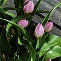 Tulip saxatilis 'Lilac Wonder', 2007, Mary Sue Ittner