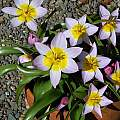Tulip saxatilis ssp bakeri 'Lilac Wonder', 2006, Mary Sue Ittner